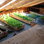 Growing lettuce in the solar attic, May 2012